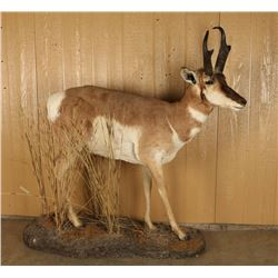 Full Mounted Pronghorn