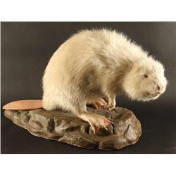 Full Mounted Albino Beaver