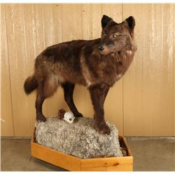 Full Mounted Brown Wolf