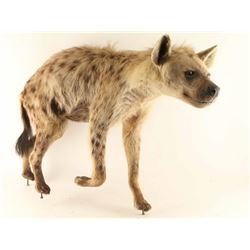 Full Mounted Hyena