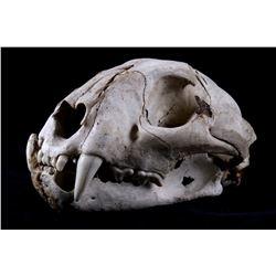 Montana Trophy Bobcat Skull