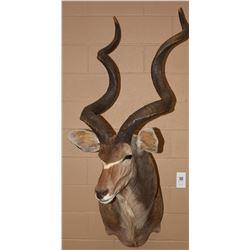 African Greater Kudu Mount