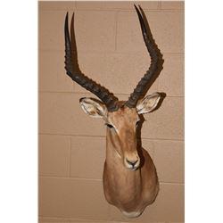 African Impala Ram Mount