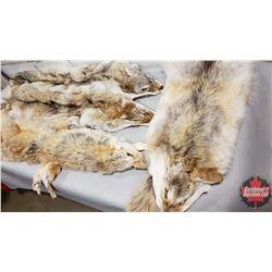 4 Coyote Pelts