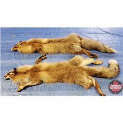 2 Fox Pelts