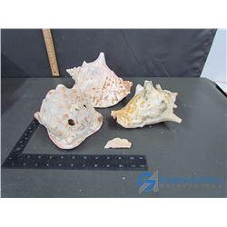 (3) Large Seashells