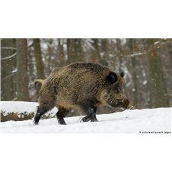 Safari Art, Wild boar hunt in Novi Sad, Serbia
