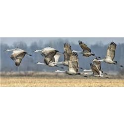 Safari Unlimited, Diamond Wing Outfitters, Sandhill cranes for 2 hunters in west Texas panhandle