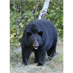 DB Outfitting BC Canada, Spring Black Bear hunt for 1 adult & 1 youth