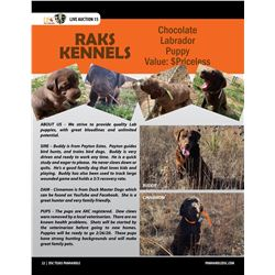 Chocolate Labrador Pup from RAKS Kennels