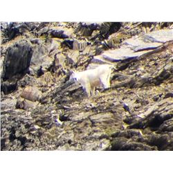 Trophy Goat hunt east Kootenays BC Canada