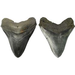 Megalodon (huge shark) tooth, Miocene era (approx. 2.6 to 15 million years old), from the Hawthorn F