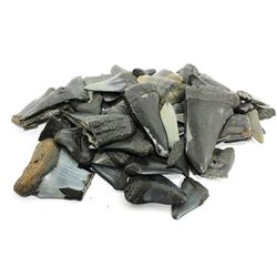 Lot of about 60 megalodon (giant shark) and other shark teeth, approx. 2.6 million years old, some i