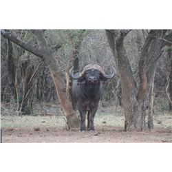 Cape Buffalo Hunt For one Hunter on 2021