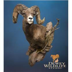 A Sheep Shoulder Mount on a Pedastel with Habitat from Dewey Wildlife Studios