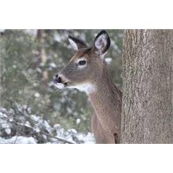 Michigan Whitetail Doe Hunt