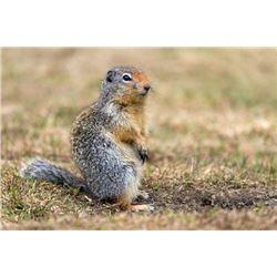 Ground Squirrel Hunt