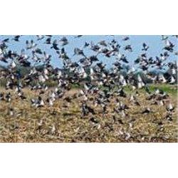 Argentina Dove Hunt for 3 hunters Offered by:   Paco Riestra