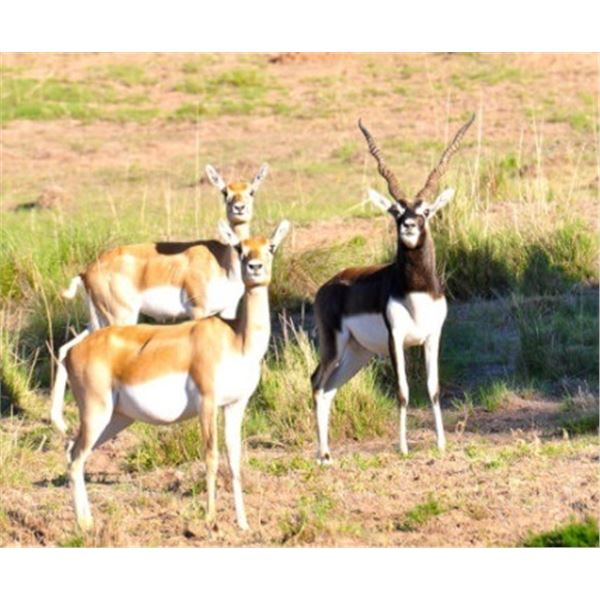 Northern Patagonia, Argentina : 3 Hunters , 5-Day Hunt for 1 BlackBuck ,1 Patagon Ram, 1 Wildboar
