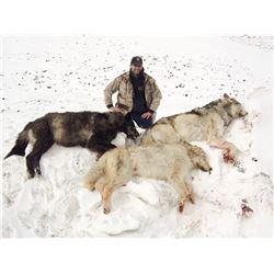 Seven Day Winter Predator Hunt in Alaska