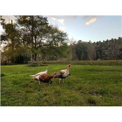 Florida Spring Turkey Hunt 1 Day 1 Person