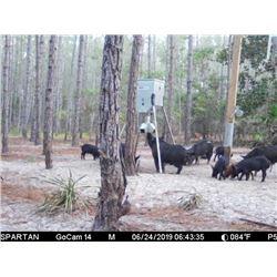 Florida Hog Hunt by Larry Shores