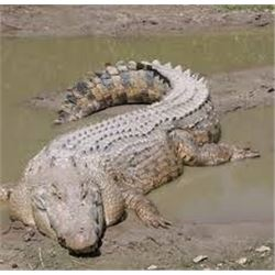 10 Day South African Crocodile Hunt, up to 4 Hunters