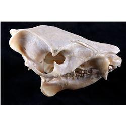 Domestic Pig/ Wild Boar Taxidermy Skull