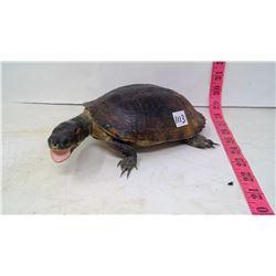 Taxidermy (1970) Turtle, South America Male