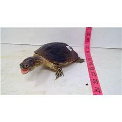 Taxidermy (1970) Turtle, South America Female