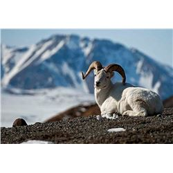 Foster's Taxidermy Inc. Dall Sheep Shoulder mount