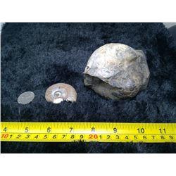 2 Ammonites - Natural, Cut, and Polished