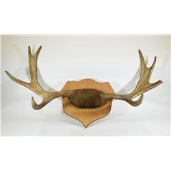 Moose Antler Mount on Wooden Plaque