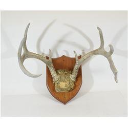Deer Antler Mount on Wooden Plaque