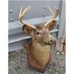 Deer Head Mount 8 Point Buck