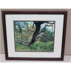 Framed Photographic Image -  Age-Old Koa Tree  Artist Signed Nathan Yuen '04 (22 x 18)