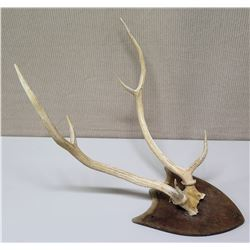 Axis Deer Horns Mounted on Wood Plaque