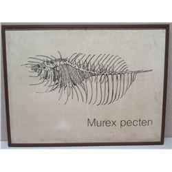 """Large Framed Art: Shell """"Murex pecten"""" on Canvas 41 x 31, Signed (canvas has faint brown spots)"""