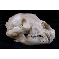 Montana Black Bear Skull Taxidermy