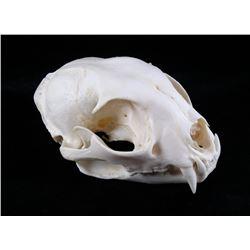 Montana Petite Trophy Bobcat Skull