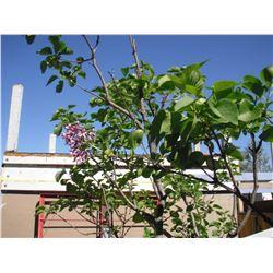 Lilas en floraison durant ce septembre au jardin LangdonArt - Lilac in September bloom in LangdonArt