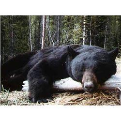 MONTANA BLACK BEAR HUNT for Two (2) Hunters