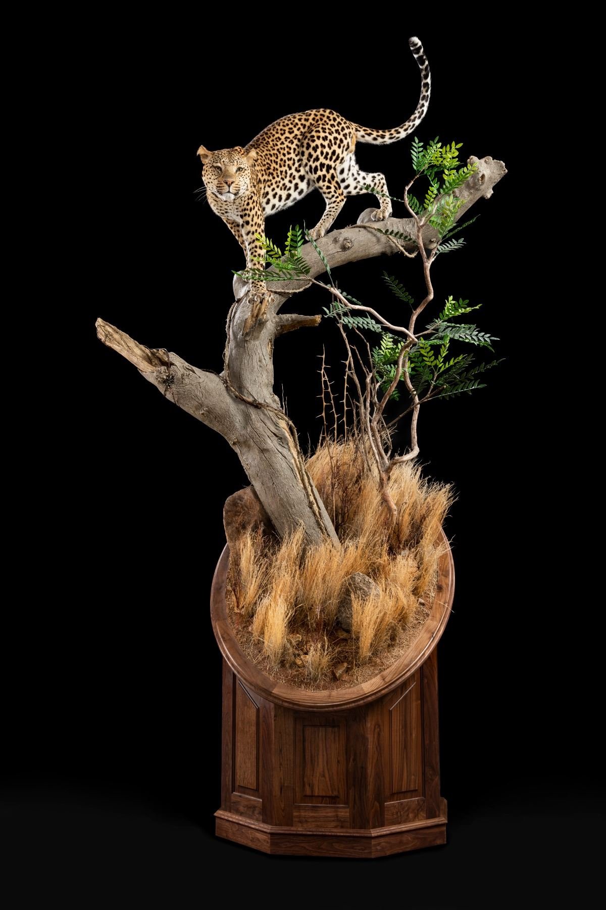 BRUSH COUNTRY/JULIAN&SONS: Life-Size Leopard Taxidermy Mount and Julian & Sons Black Walnut Base