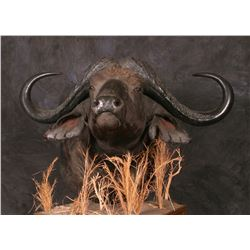 CONROE TAXIDERMY: $3,500 CERTIFICATE For Custom Cape Buffalo Floor Pedestal Mount