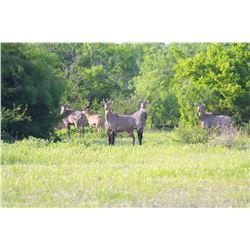 KING RANCH: 1-Day Nilgai Hunt for Two Hunters in Texas - Includes Trophy Fees