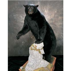 TRUE-LIFE TAXIDERMY: $3,000 CERTIFICATE For Life-Size Black Bear Mount Taxidermy