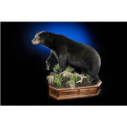 THE WILDLIFE GALLERY: $5,000 CERTIFICATE For Black Bear Mount Taxidermy