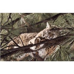 """BOBCAT NAP"" FRAMED PHOTOGRAPH ON ALUMINUM"