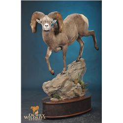 LIFE-SIZE WILD SHEEP MOUNT WITH HABITAT AND BASE FOR 2021 SHEEP SHOW THE EXPERIENCE!