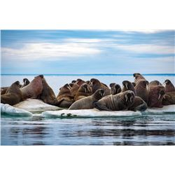 7-DAY WALRUS ARCTIC ADVENTURE HUNT FOR 1 HUNTER